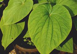 kava-plant
